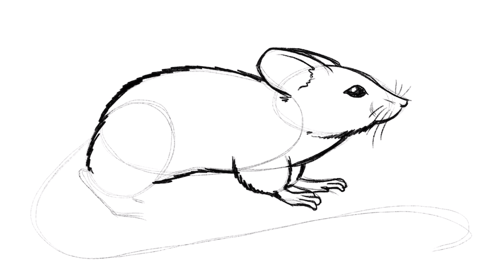 Draw the belly and back of the mouse