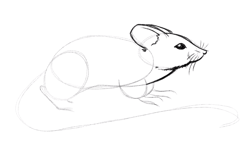 Draw the chest of the mouse