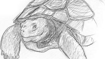 Bleistiftzeichnung Skizze einfach Schildkröte